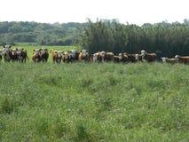 Livestock on pasture royalty free stock image