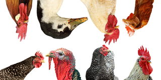 Livestock portraits Stock Image