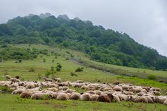 livestock Rebanho dos carneiros na montanha imagens de stock