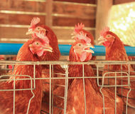 Livestock of Red chicken. In farm stock images