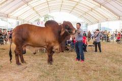 Livestock Show 2015 Stock Image