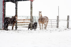 Livestock in a snow storm. Royalty Free Stock Images