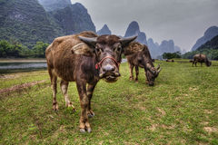 Livestock in southern China, cows grazing on pasture in Guangxi. Asian Herd of cows grazing in the meadow by  river Lijiang, a pasture on a background of  karst Stock Photo