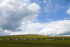 Livestock on the Steppes. Sheep and goats graze on the green grassy steppes of central Mongolia Royalty Free Stock Photos