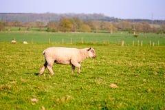 Livestock Royalty Free Stock Photos