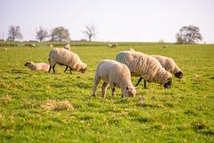 Livestock Stock Photos