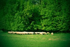 Flock of sheeps near the forest. Livestock in their natural environment. Grazing sheeps Royalty Free Stock Photography