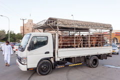 Livestock transport in Oman Royalty Free Stock Images