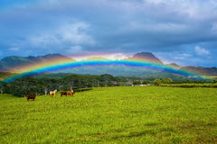 Livestock under a rainbow, kauai, hawaii. Cattle and horses under a rainbow, and somewhere over the rainbow is mount haupu or known to the locals as black Stock Photo