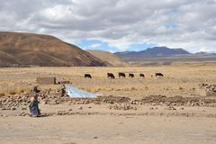 Livestock in the vastness of the Altiplano Stock Photos