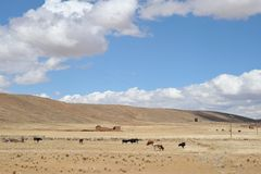 Livestock in the vastness of the Altiplano. ALTIPLANO, BOLIVIA - SEPTEMBER 3, 2010: Livestock in the vastness of the Altiplano. Altiplano is a vast plateau in Royalty Free Stock Photography