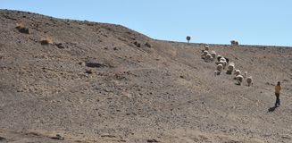 Livestock in the vastness of the Altiplano. Royalty Free Stock Images