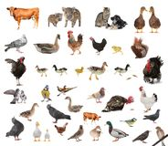 Livestock. On a white background stock image