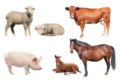 Livestock. On a white background Royalty Free Stock Images