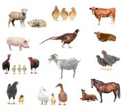 Livestock. On a white background Royalty Free Stock Photo