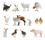 Livestock stock images