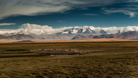 Livestock wih Himalayas range in background, Tibet Stock Photo