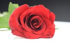 Livet av den lilla röda rosen Arkivfoto