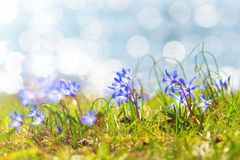 Livewort, Hepatica nobilis during spring. Livewort (Hepatica nobilis) during spring in the sun at the grassfloor Stock Photo