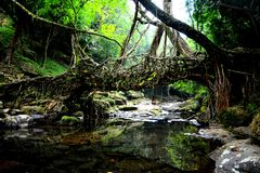 Living bridges Royalty Free Stock Photos