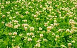 Living carpet of white clover Stock Image