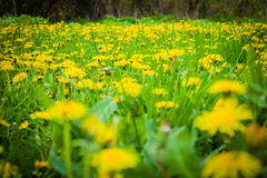 a living carpet of yellow dandelions Royalty Free Stock Image