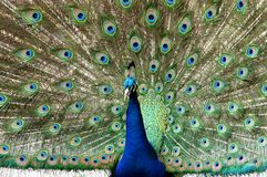 Living Colour. A peacock colourful spread Stock Image