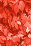 Living coral color. Background of Virginia creeper ivy in living coral color of the 2019 year stock photos