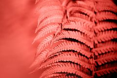Living Coral fern leaves. Beautiful fern leaves foliage. Natural floral fern background. Living Coral creative and moody color of the picture royalty free stock image