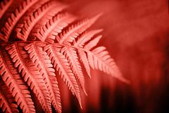 Living Coral fern leaves. Beautiful fern leaves foliage. Natural floral fern background. Living Coral creative and moody color of the picture stock image