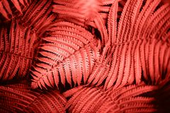 Living Coral fern leaves. Beautiful fern leaves foliage. Natural floral fern background. Living Coral creative and moody color of the picture stock photography