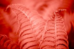 Living Coral fern leaves. Beautiful fern leaves foliage. Natural floral fern background. Living Coral creative and moody color of the picture royalty free stock photo