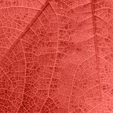 Living Coral leaf texture with small drops and veins. Living Coral leaf texture with small drops and tiny veins royalty free stock image