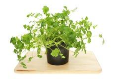 Living coriander herb Stock Photos