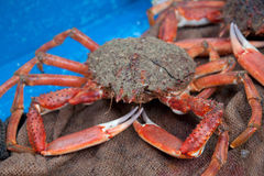 Living crab Royalty Free Stock Images