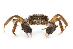 Living crab Stock Images
