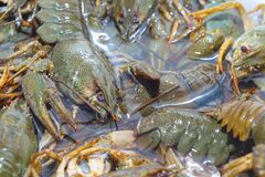 Living crayfish in water. Caught crayfish are washed in clean water for further preparation.