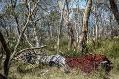 Snow gums in the Victorian Alps, Victoria, Australia Royalty Free Stock Photo