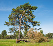 Living and dead tree. On a green meadow Stock Photo