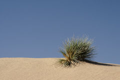 Living Desert. Grass on a sand dune in the desert in Namibia Stock Photography