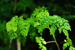 Living Drumstick tree or Moringa tree. Moringa or Malunggay tree as a healing herb stock photo