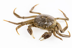 Living freshwater crab Royalty Free Stock Photos