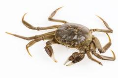 Living freshwater crab Royalty Free Stock Photos