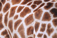 Living Giraffe Hide Close Up Royalty Free Stock Image