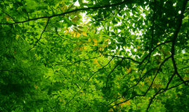 The Living Green. The Green Leaf covered overhead of a forest Stock Photos