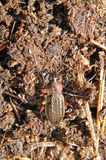 Living ground beetle. Russia Stock Photo