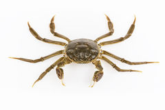 Living hairy crab isolated Royalty Free Stock Images