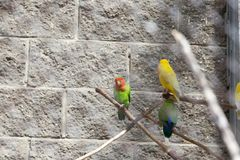 multi-colored parrots royalty free stock photo