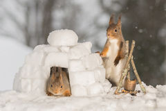Living in a igloo. Close up of red squirrels standing in a igloo with a campfire Royalty Free Stock Photos
