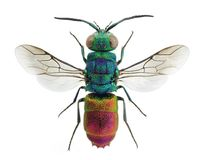 Living jewel cuckoo wasp Chrysis comta. Beautiful cuckoo wasp Chrysis comta, from Europe Royalty Free Stock Image